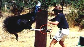 Cassowary attacking a human.