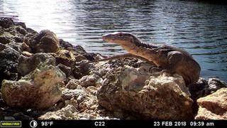 Florida wildlife authorities captured an Asian water monitor in Florida Keys.