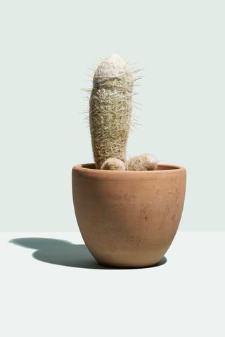 Cactus Viagra pills