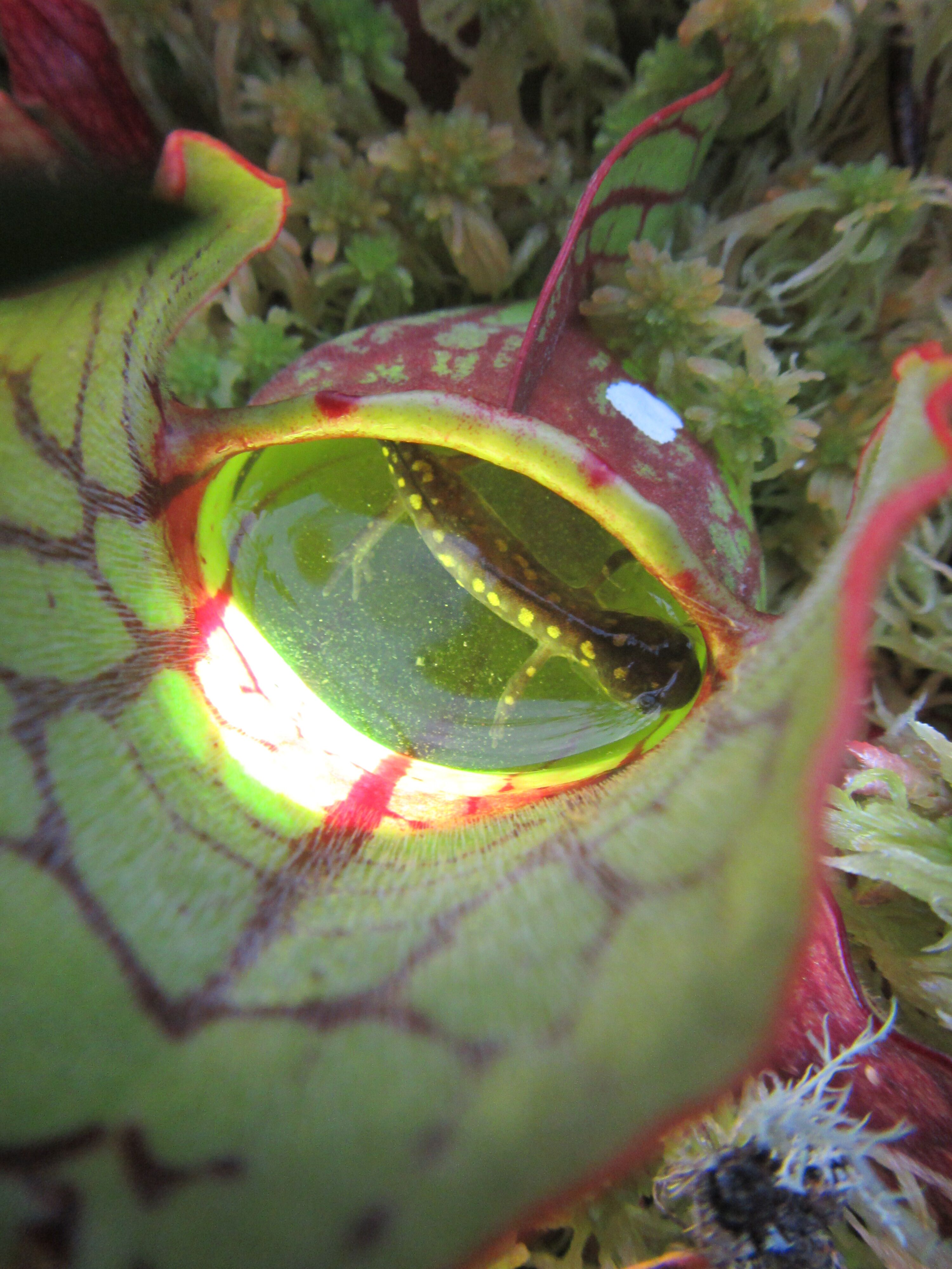 Salamander in a pitcher plant