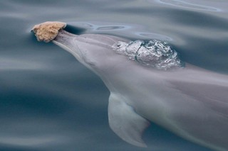 A bottlenose dolphin with a sea sponge in Shark Bay, Western Australia.