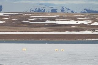 A mother polar bear and two cubs on an expanse of sea ice in Svalbard. Photo by Craig S. Smith