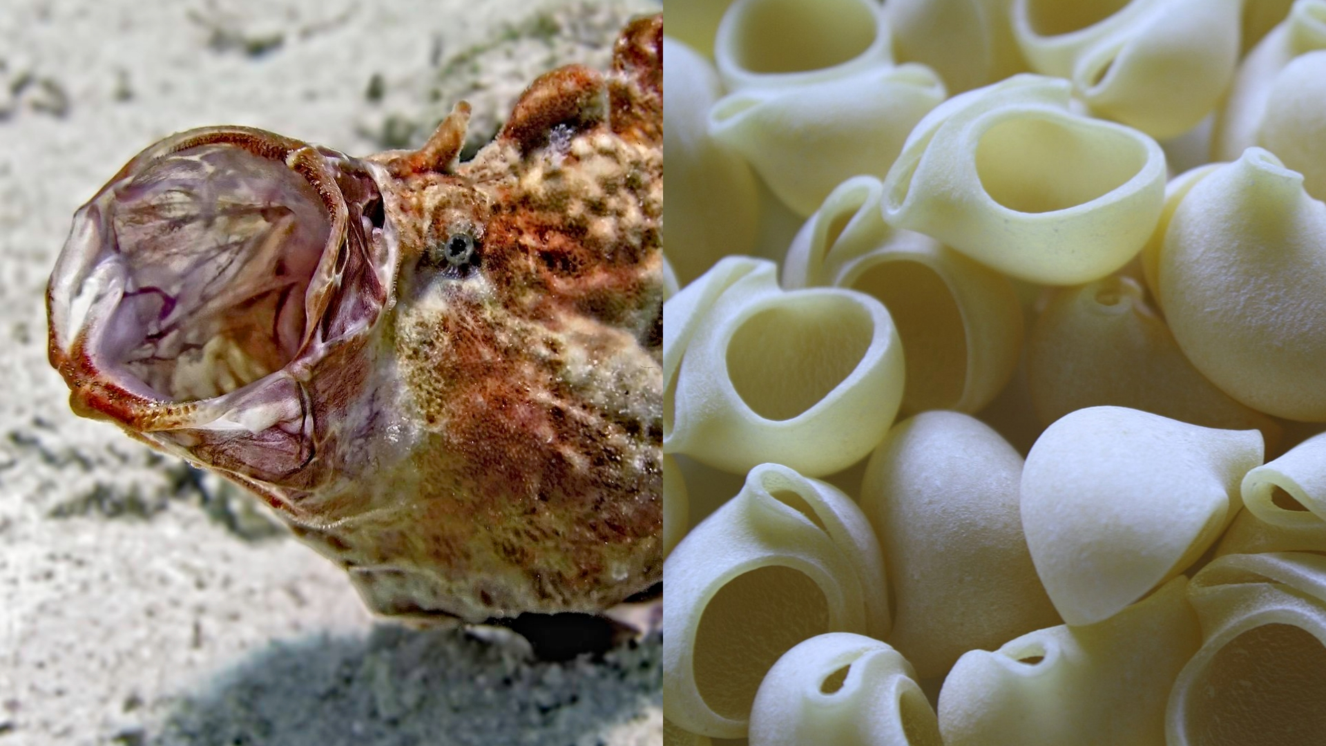 a splitscreen image of a frogfish yawning, to the left of dried lumache pasta
