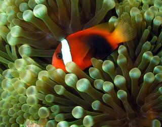 1562869015614-Tomato_anemonefish