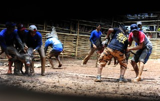 Four-Legged Gladiators: Indonesia's Outlawed Tradition of