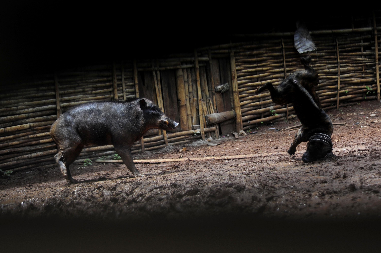 87+ Gambar Adu Babi Paling Hist
