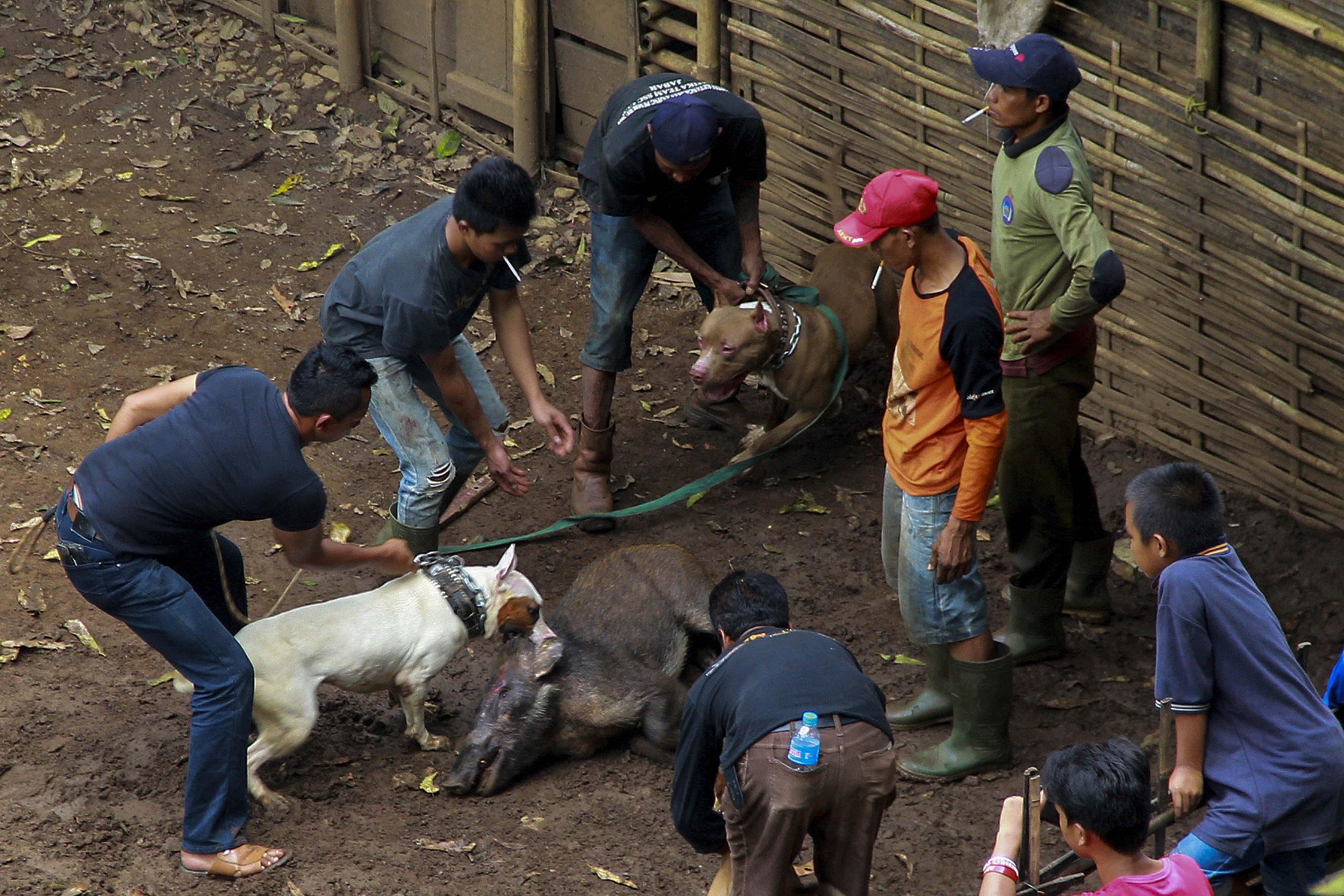 Gladiator Kaki Empat Mengintip Arena Duel Terlarang Anjing Versus Babi Hutan Di Jabar