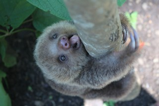 A sloth at an animal rescue sanctuary