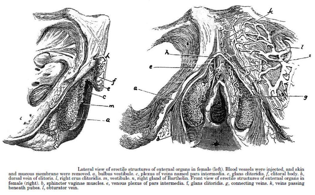 1568900376108-1024px-Clitoris_disseque_par_Kobelt_en_1844