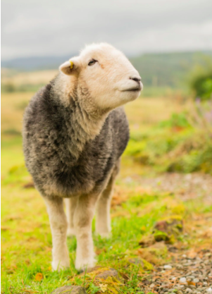 Meditation with Sleepy Sheep