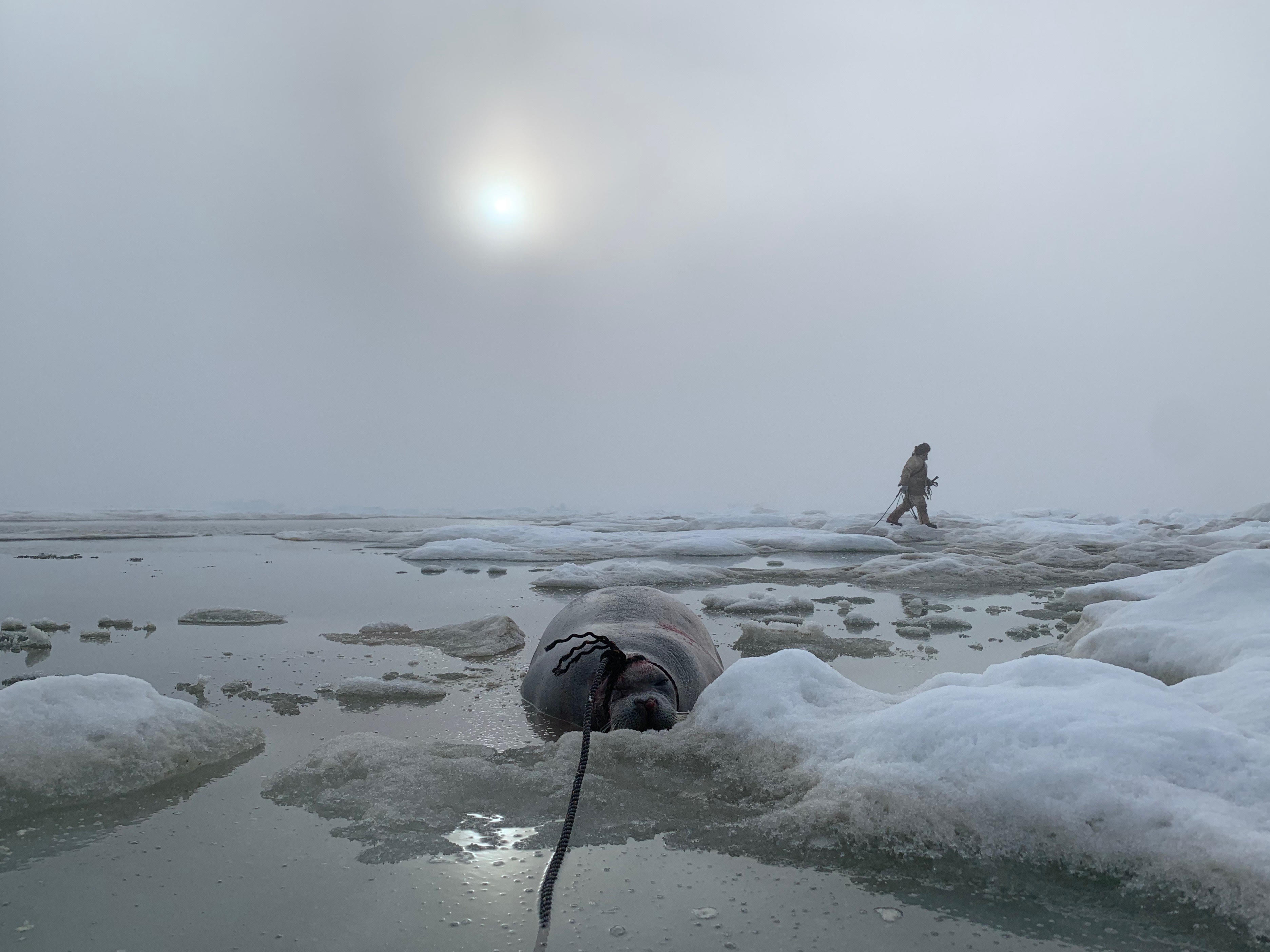 A bearded seal is roped and pulled to thicker ice