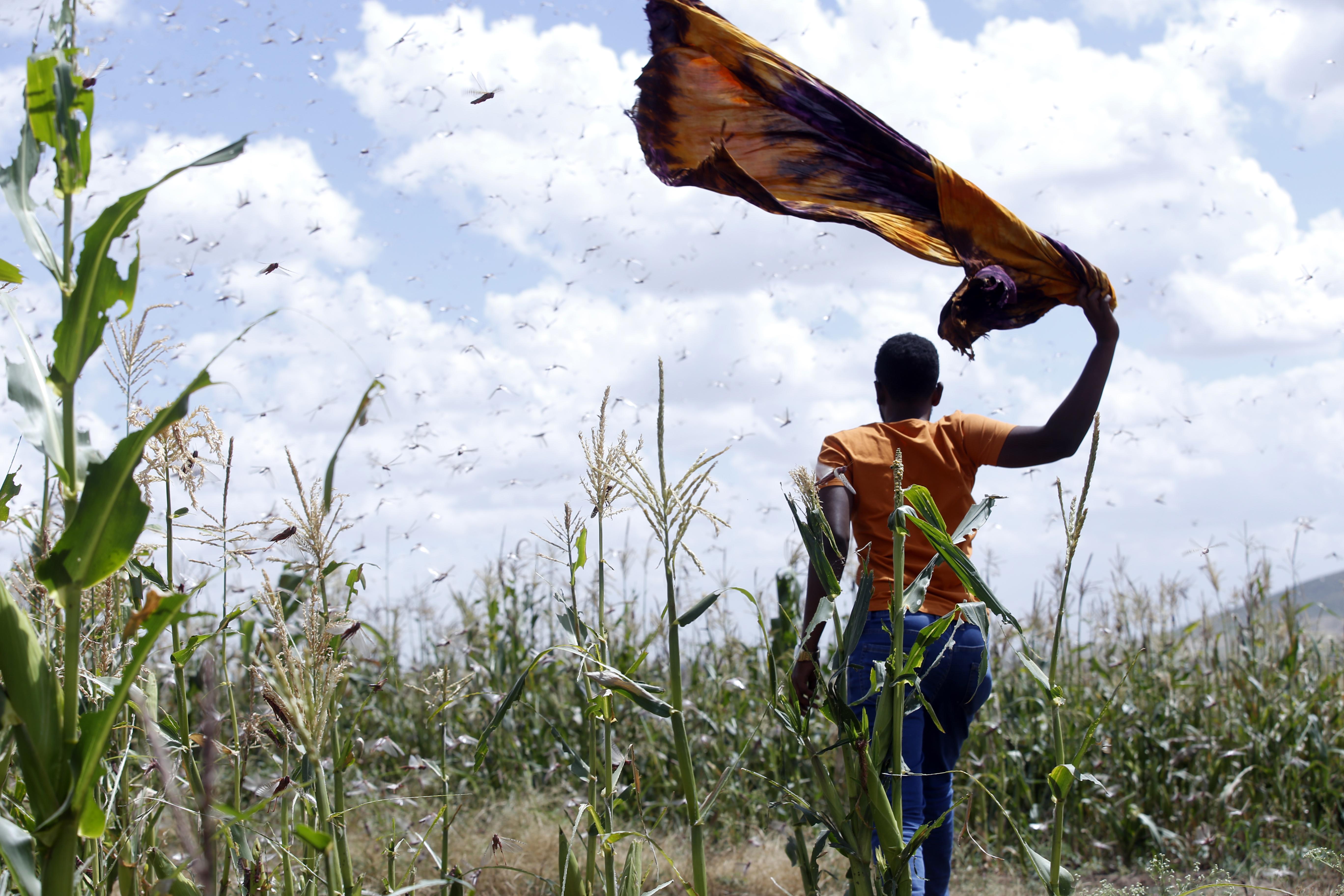 A swarm of locusts in Ethiopia