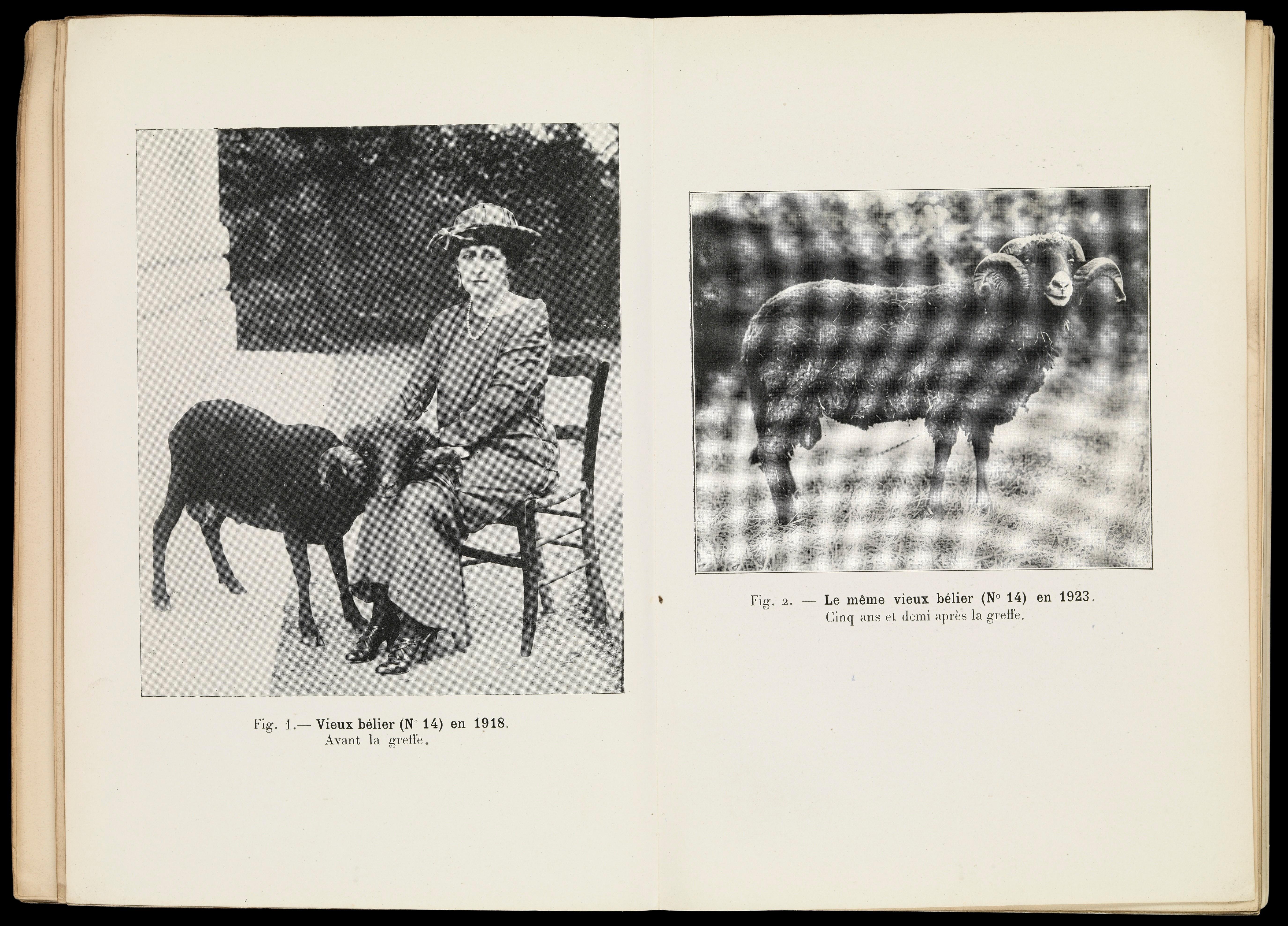 Foto domba sebelum dan sesudah dicangkok testis.