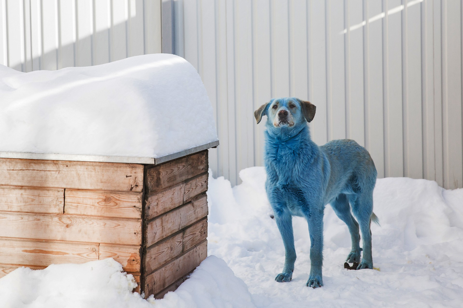 One of the dogs found in the city of Dzerzhinsk, after being tested at a veterinary clinic in Nizhny Novgorod. Photo: Mikhail SoluninTASS via Getty Images