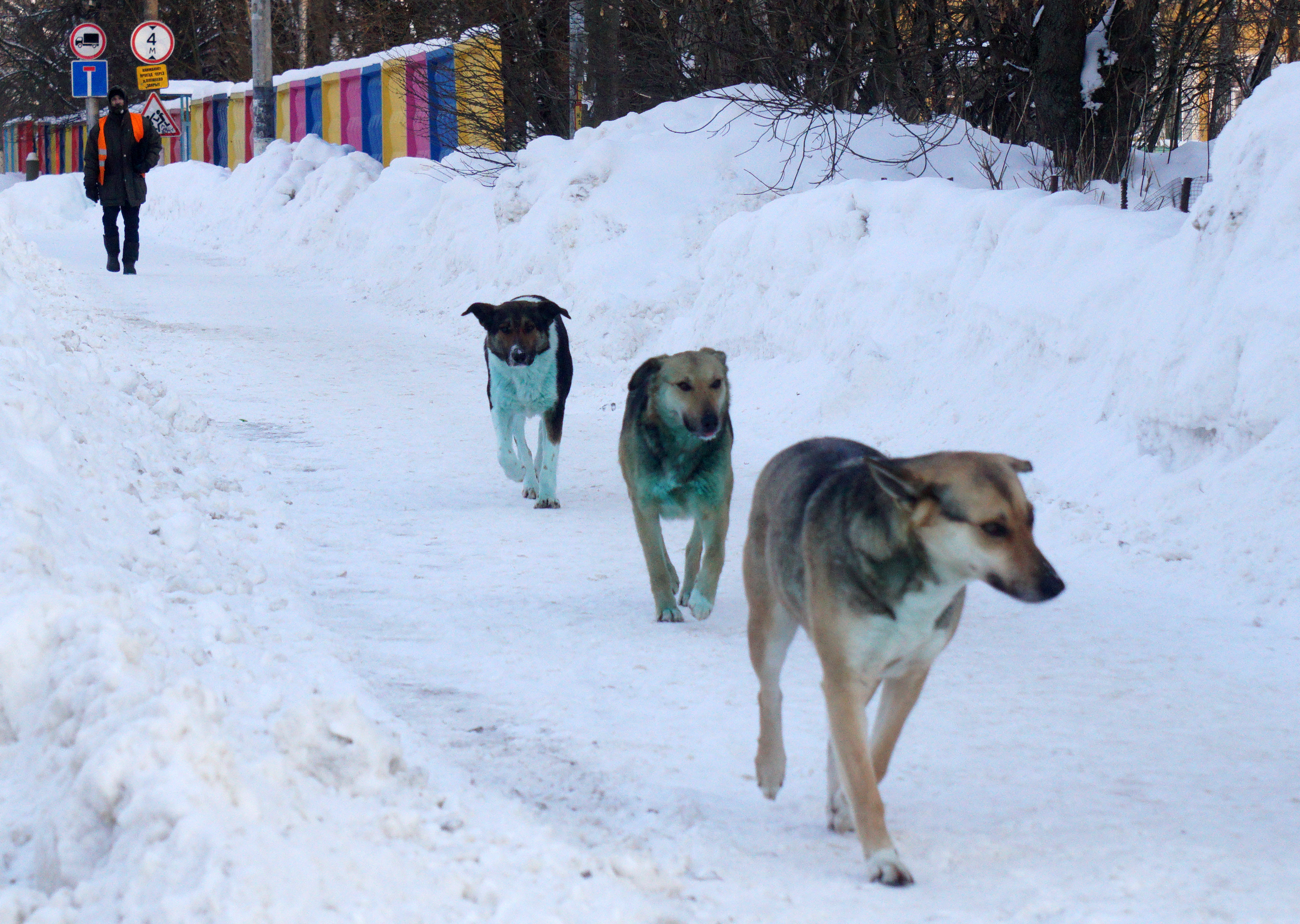 Stray dogs with a distinct green hue found in the city of Podolsk. Photo: Mikhail Svetlov/Getty Images