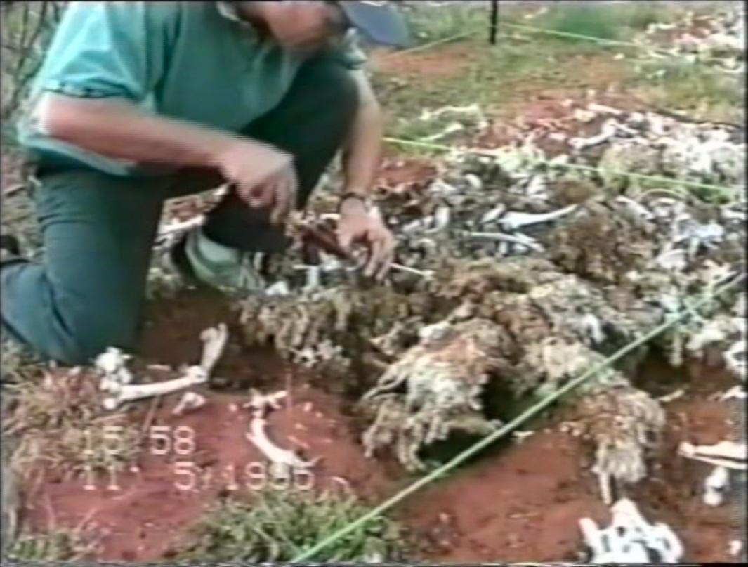 Tumpukan tulang dan bulu domba yang dijadikan hewan percobaan.