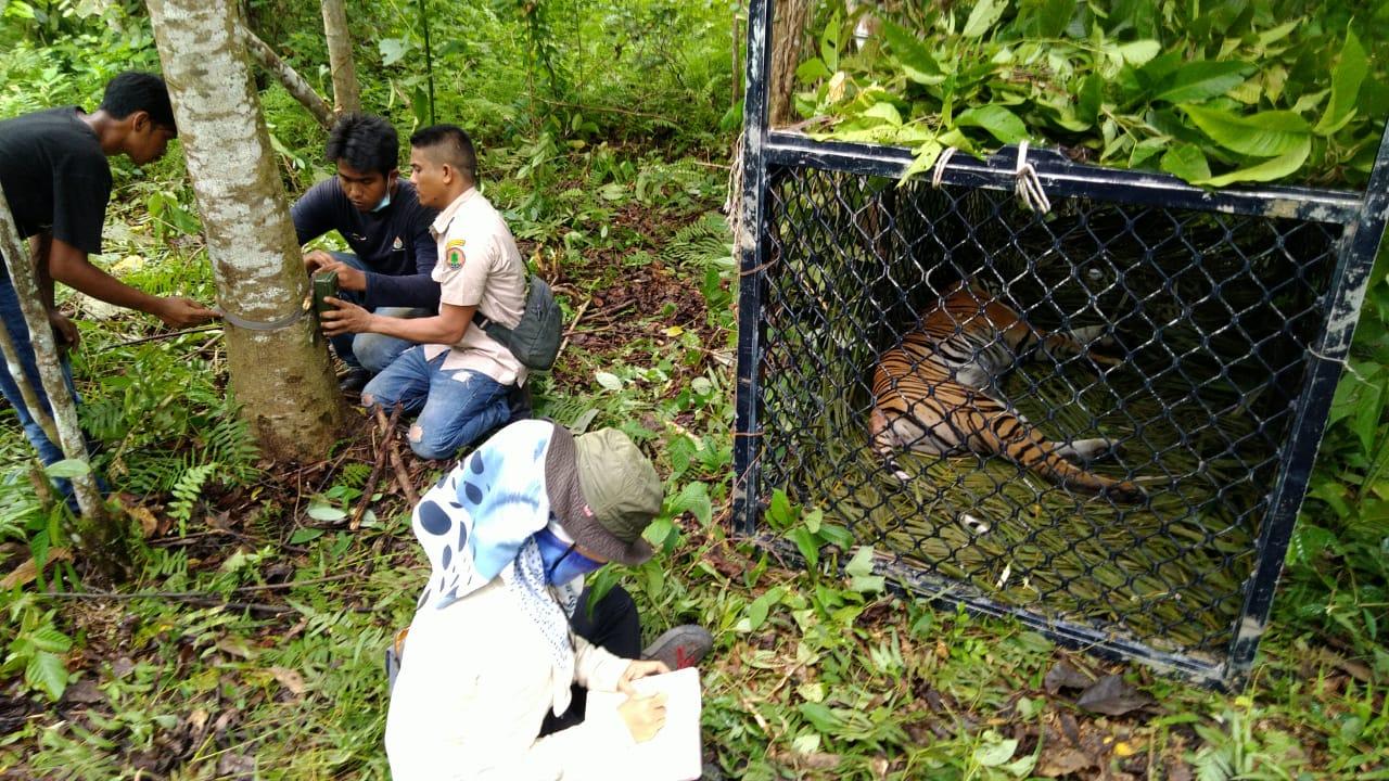 Harimau sumatra dalam sangkar sebelum dilepasliarkan.