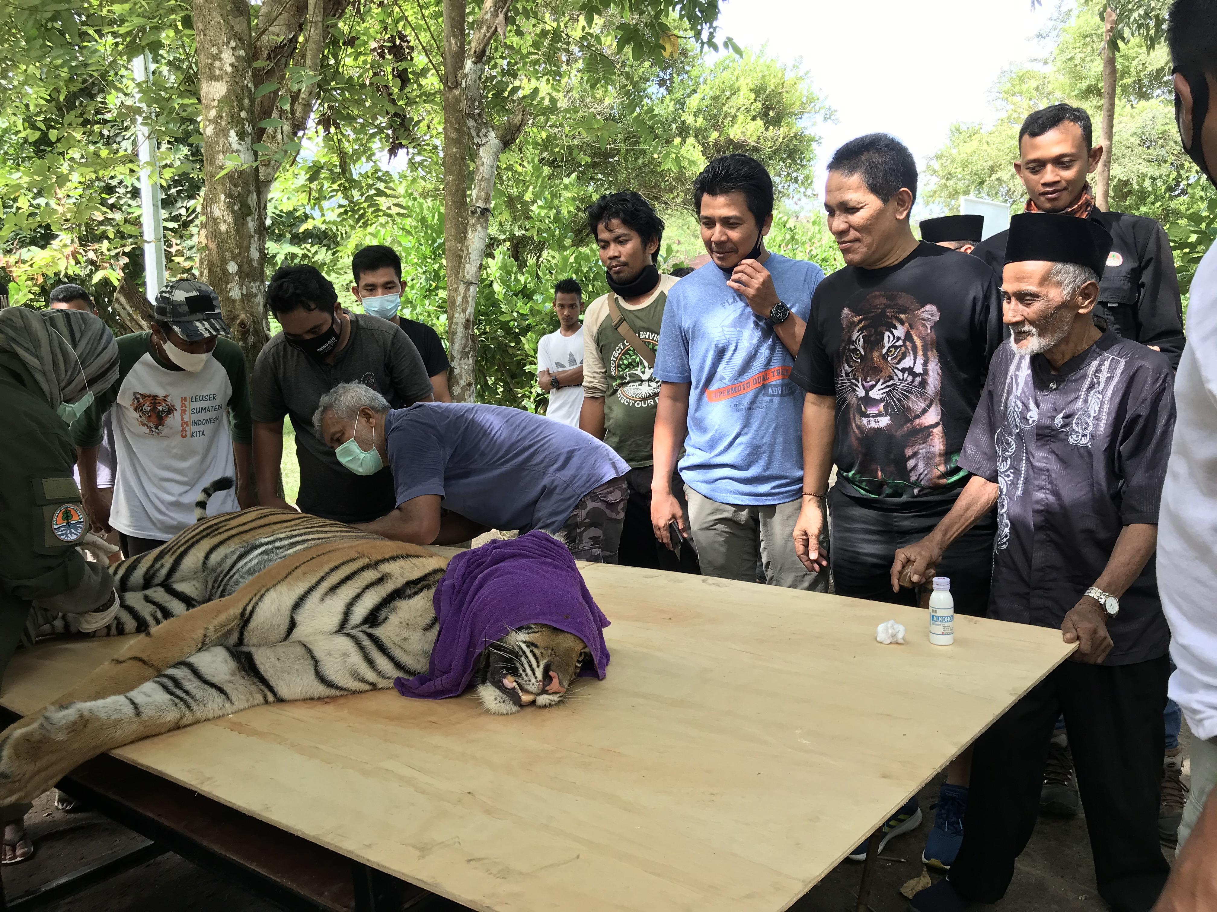 Sarwani memandang harimau yang terkapar di atas meja usai dibius.