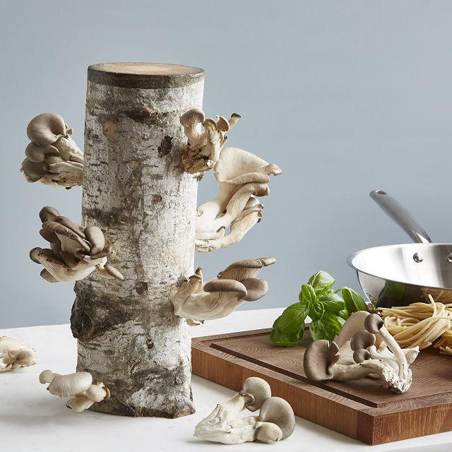 oyster mushroom growing kit.jpeg