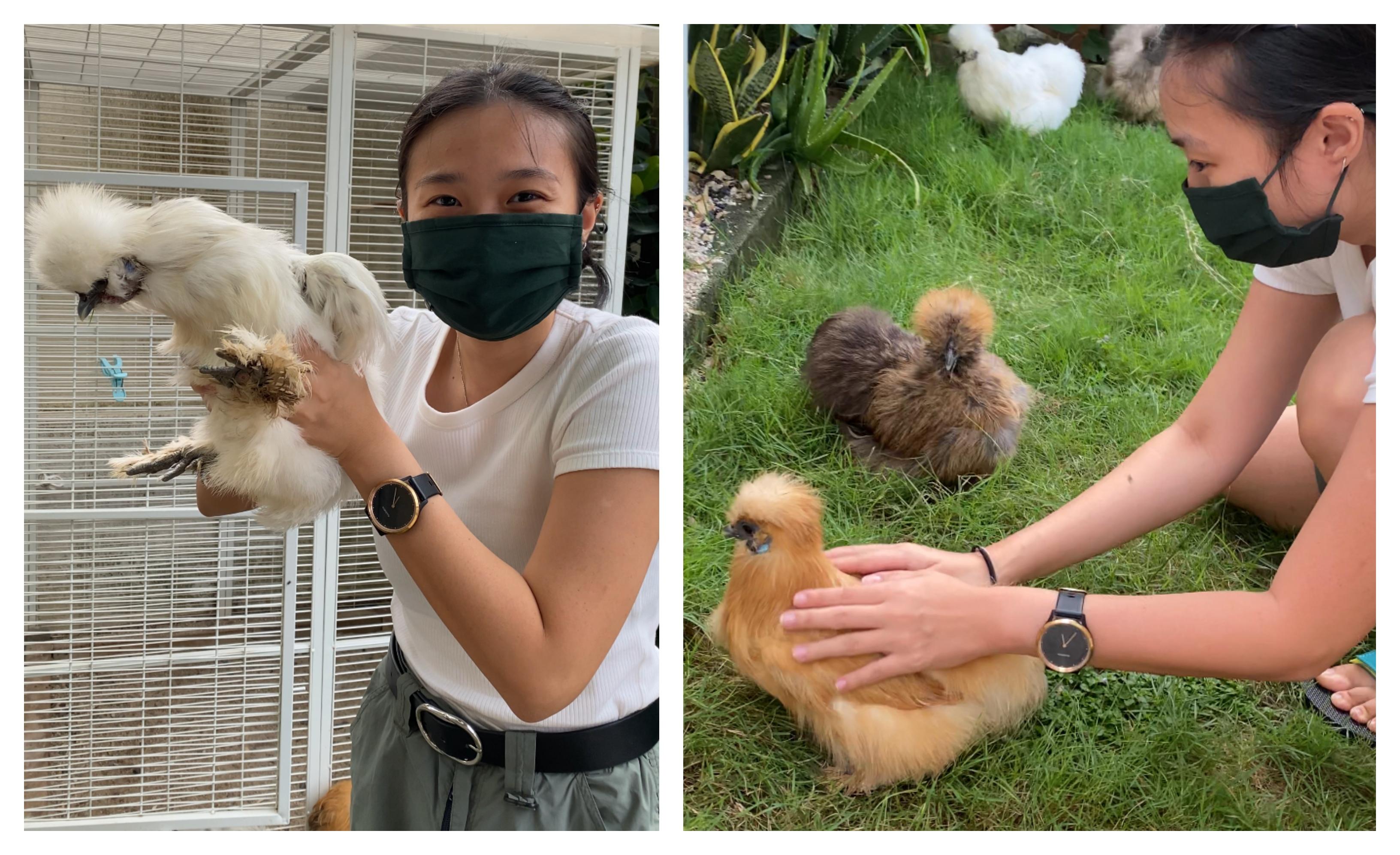Penulis Koh Ewe menggendong dan mengelus ayam Silkie