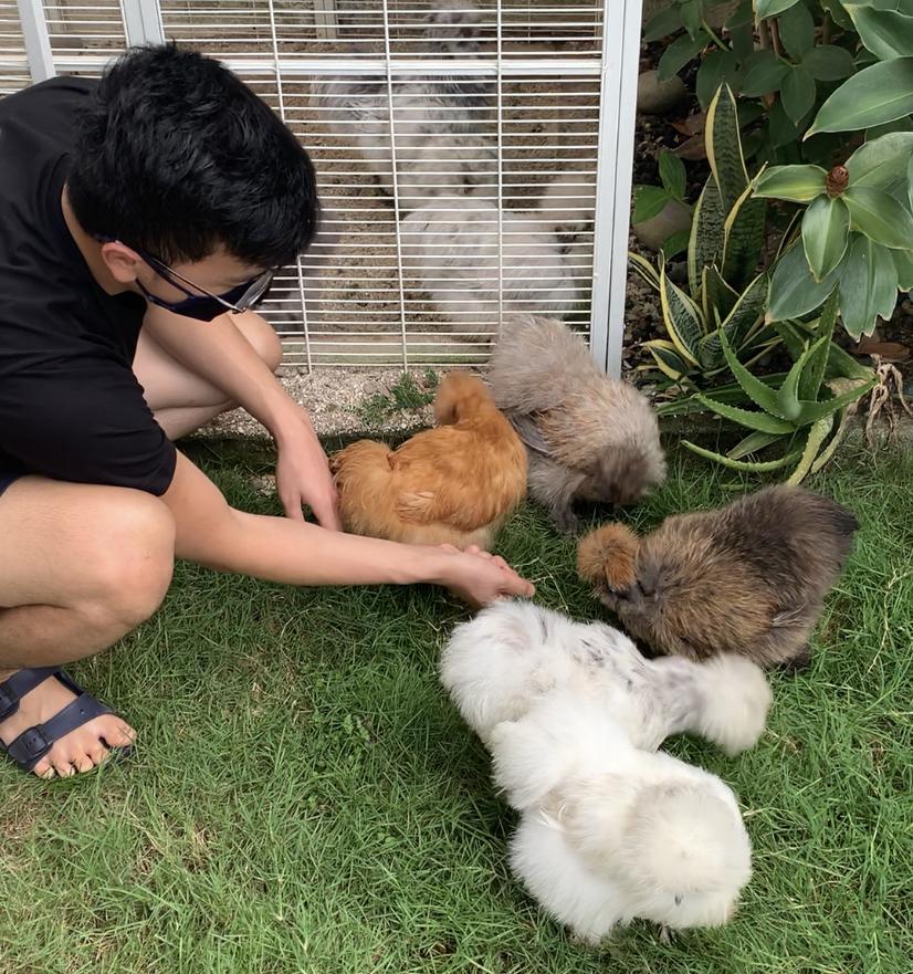 Noel memberi makan empat ekor ayam