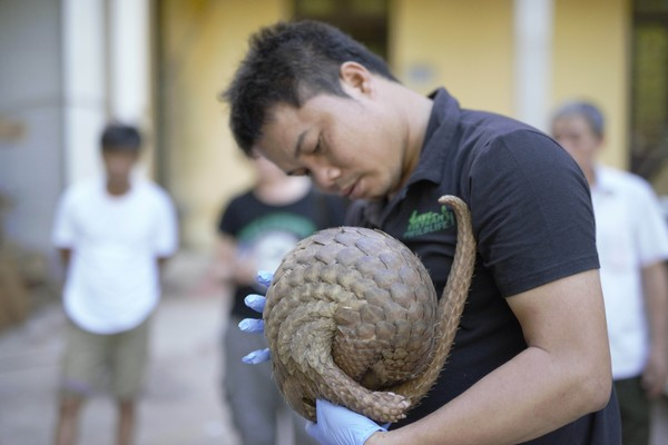 THAI VAN NGUYEN'S NONPROFIT ORGANIZATION IS CREDITED WITH SAVING OVER 1,500 PANGOLINS. PHOTO COURTESY OF SAVE VIETNAM'S WILDLIFE