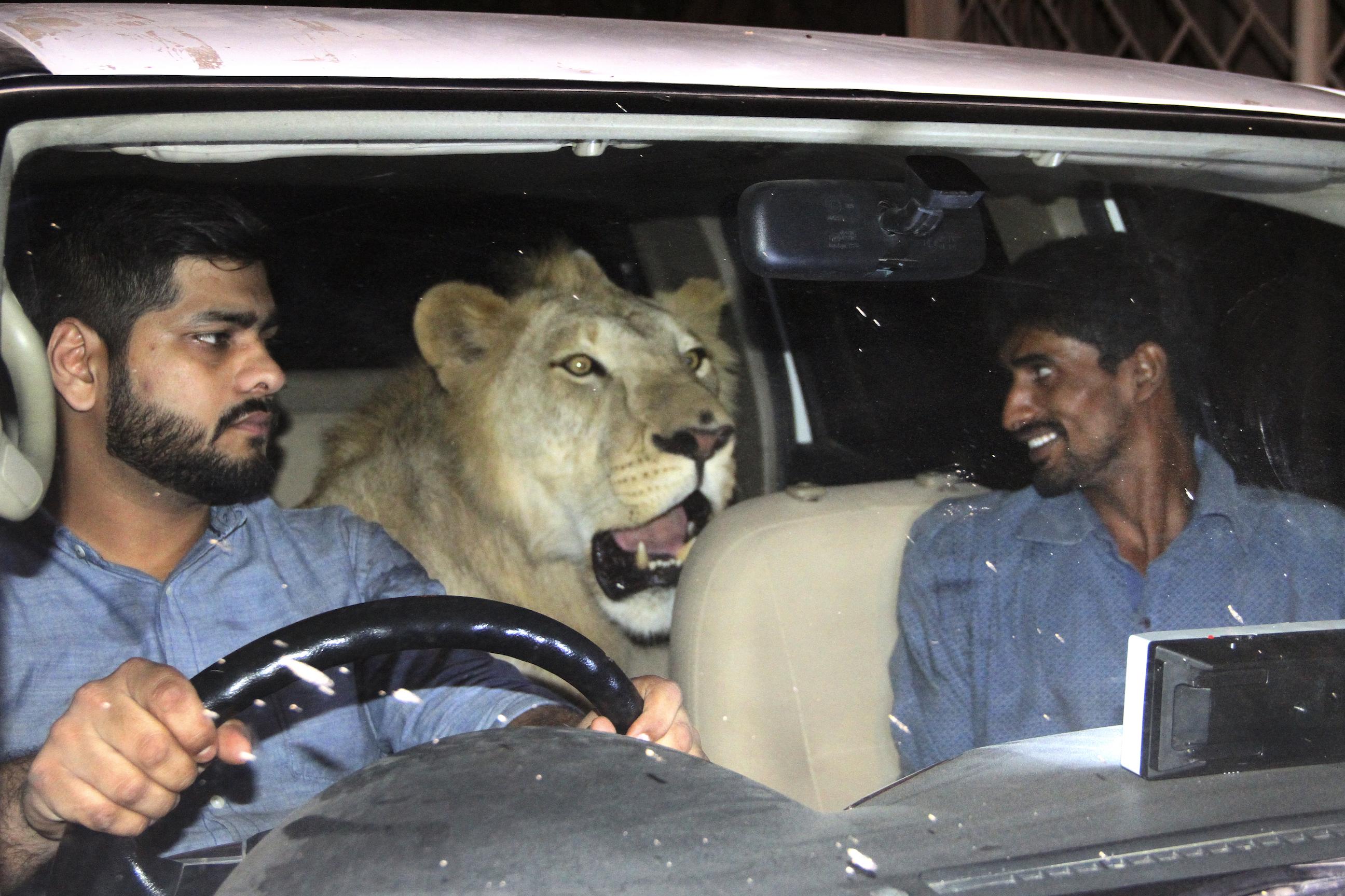 Dua lelaki mengajak singa jalan-jalan naik mobil