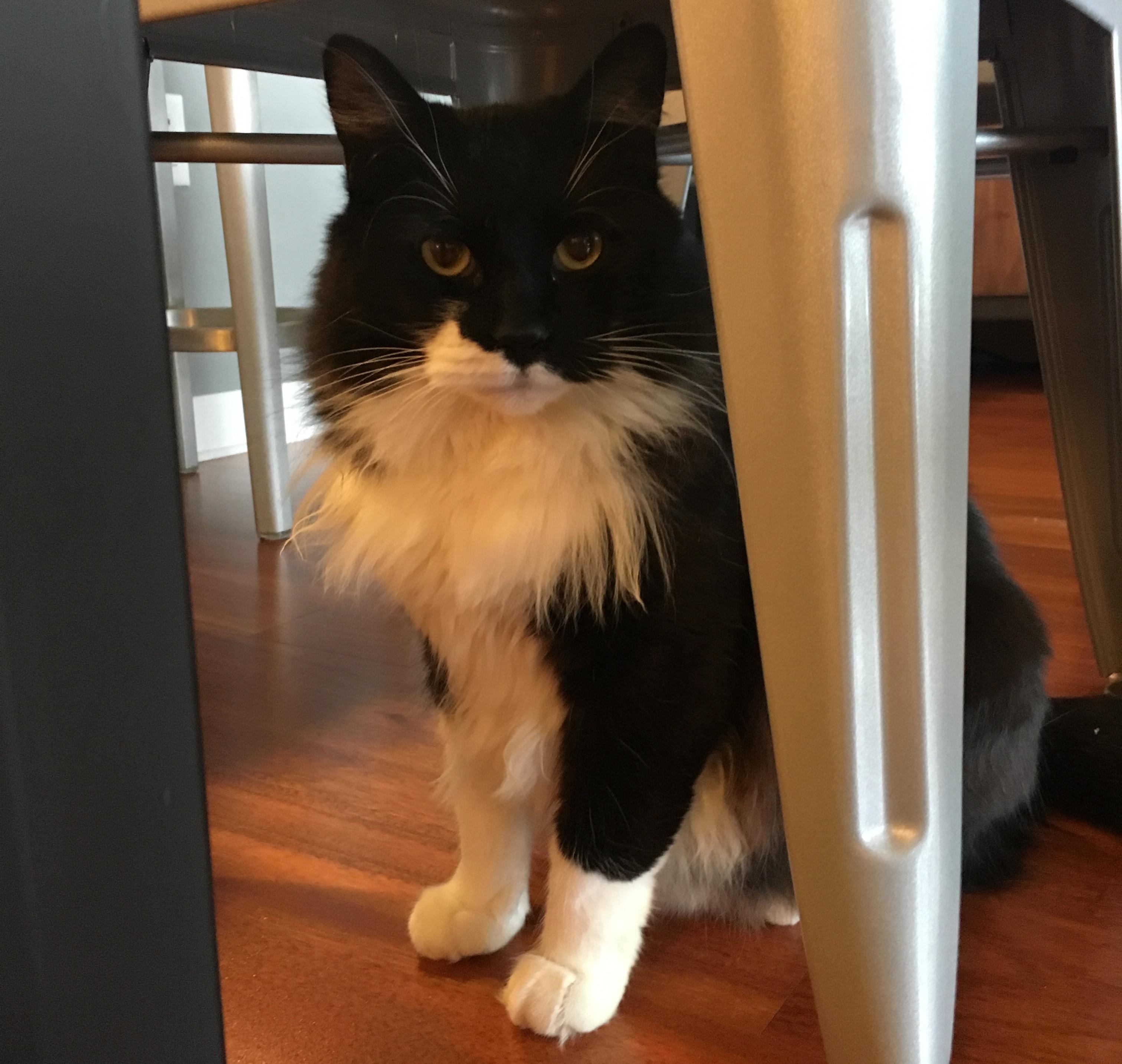 Kucing hitam-putih Harvey