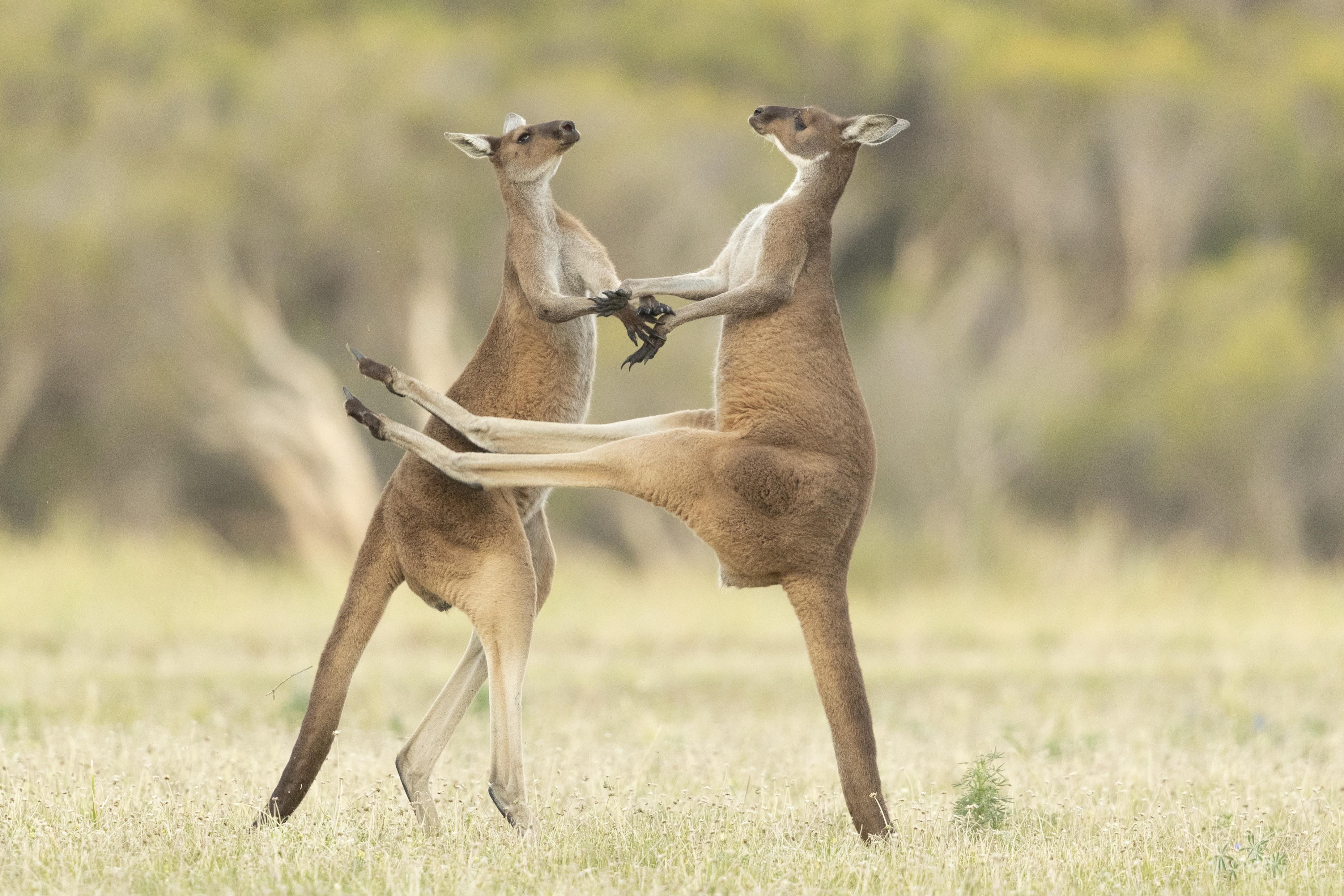 Dua ekor kanguru berdansa