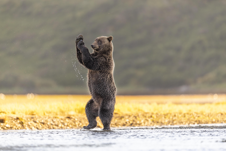 Beruang menari