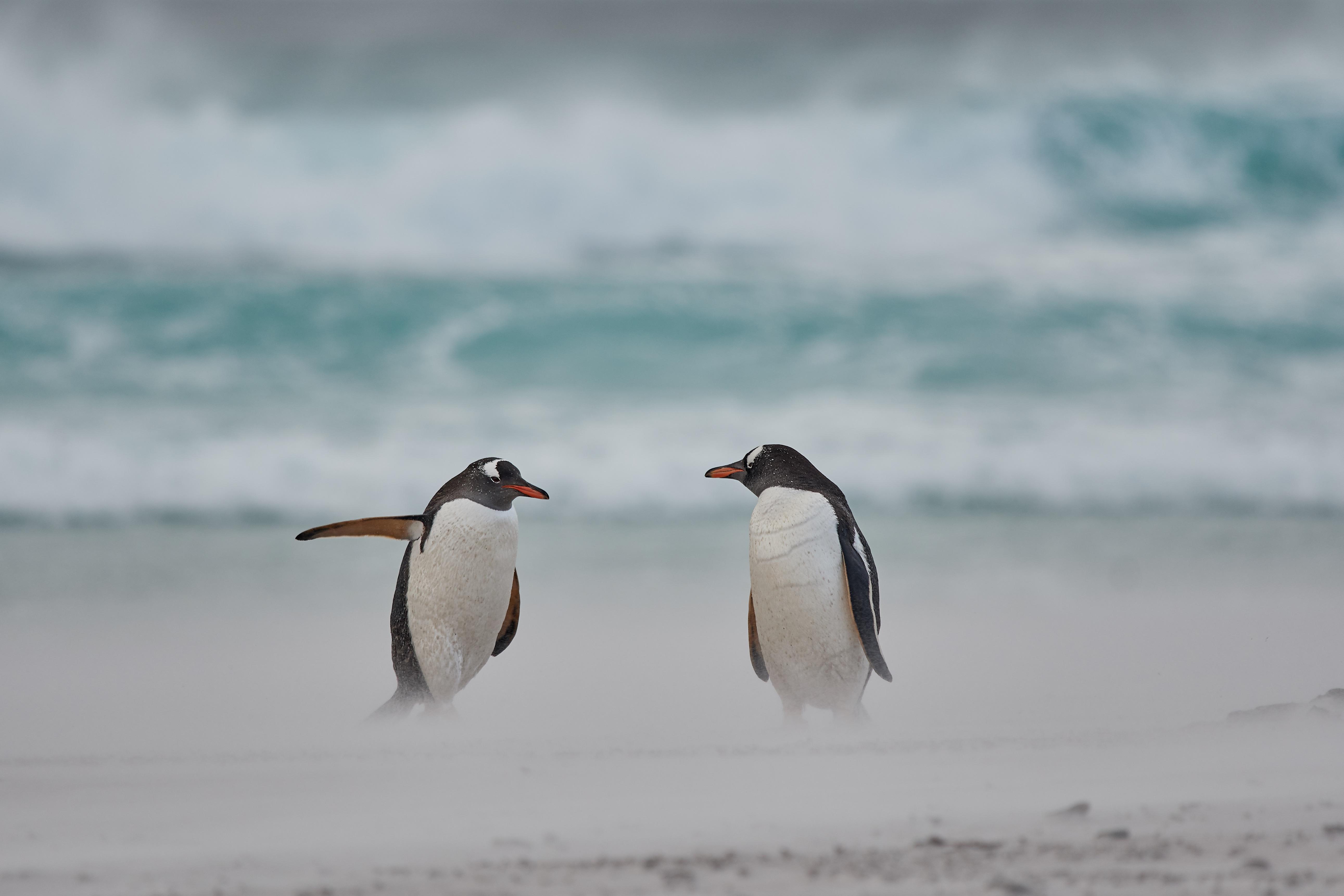 Seekor penguin sedang mengarahkan penguin lain