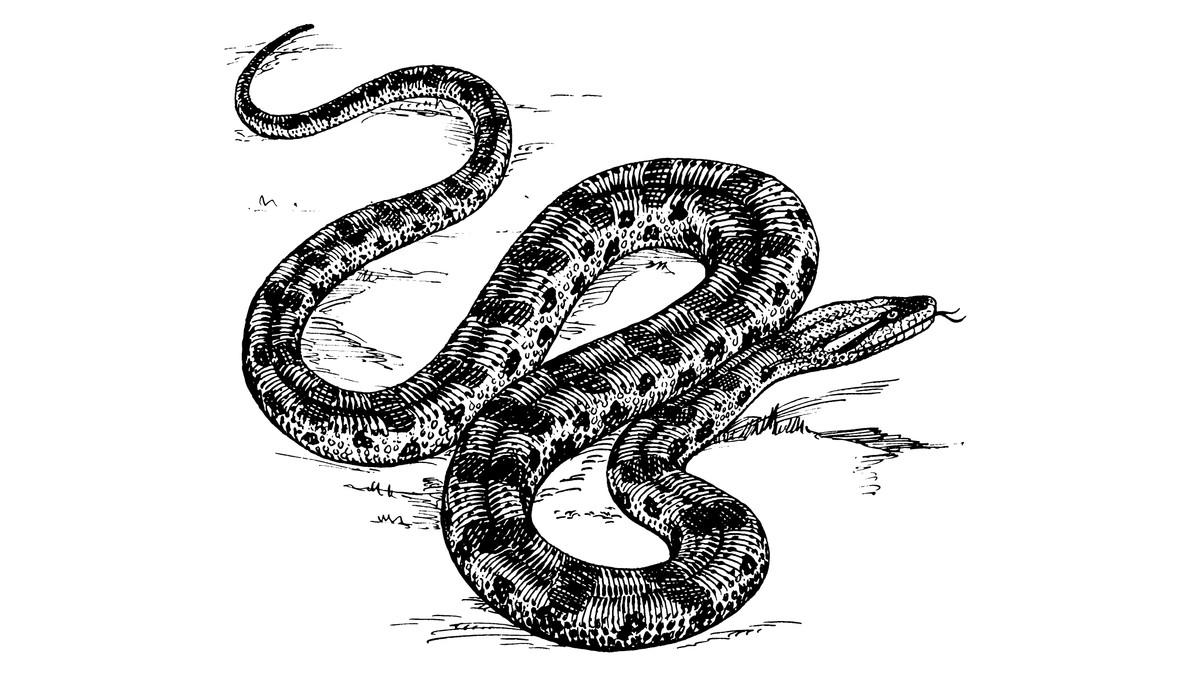 Contemporáneo Serpiente Anaconda Para Colorear Foto - Enmarcado Para ...