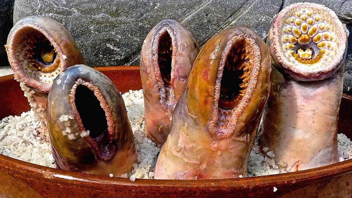 The Sea Lamprey Society Gathered To Eat Most Gruesome Animal In History