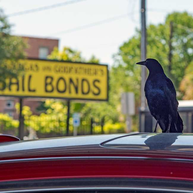 Everything You Need to Know About Grackles, the Horny Devil Bird of