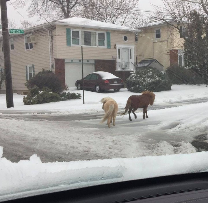 Two Escaped Ponies Had the Snow Day of Their Dreams on Staten Island