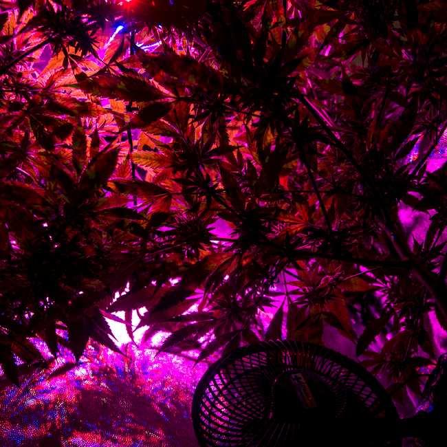 Cultivarás Tu Planta El Autocultivo Como Forma De Fumar Marihuana