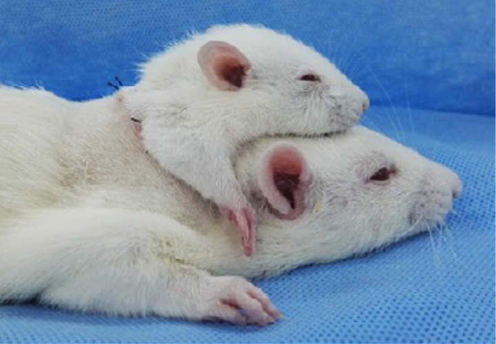 Scientists Just Transplanted Small Rat Heads Onto Bigger Rats