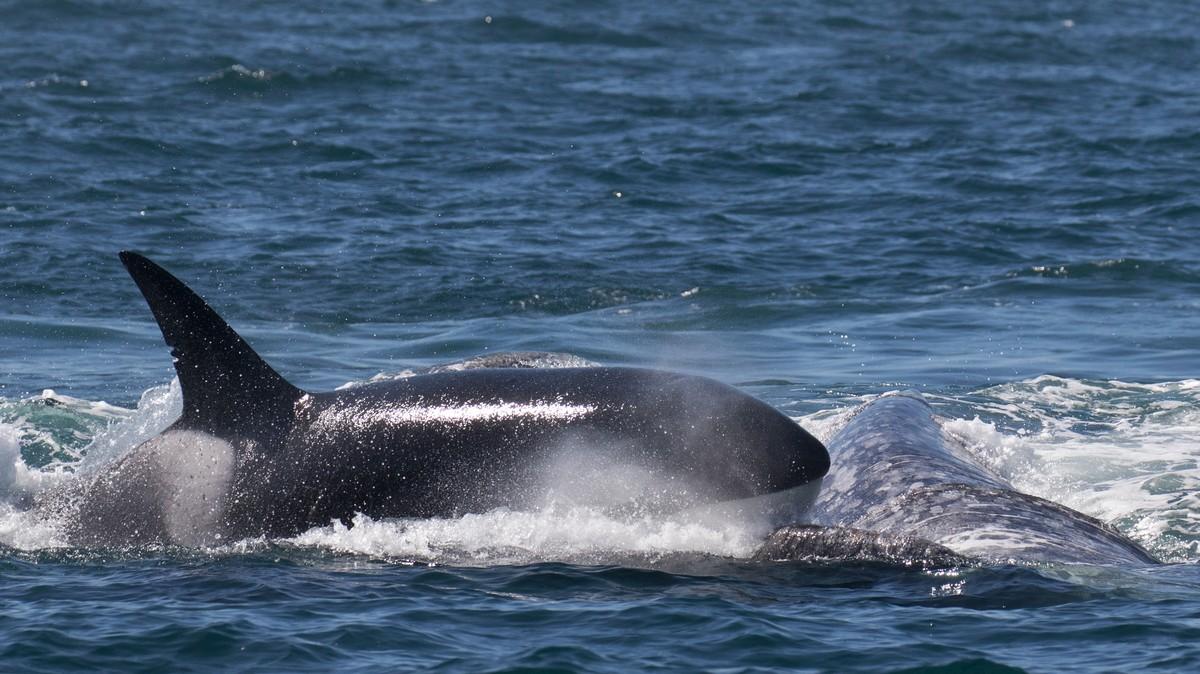 killer whale attacks - HD3150×1771