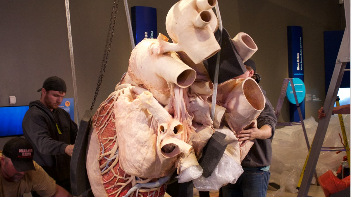 This 600-Pound Preserved Blue Whale Heart Will Last 1,000 ...