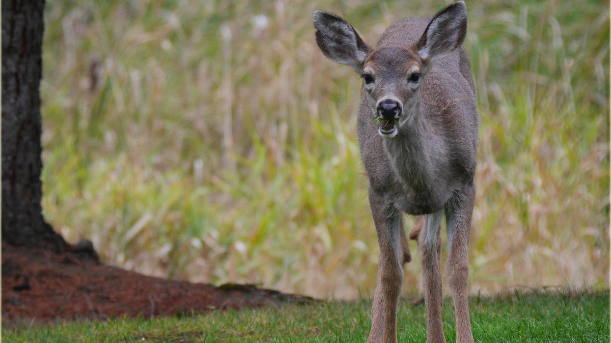 Extremely Angry Deer Are Terrorizing The People Of Vancouver Island Motherboard