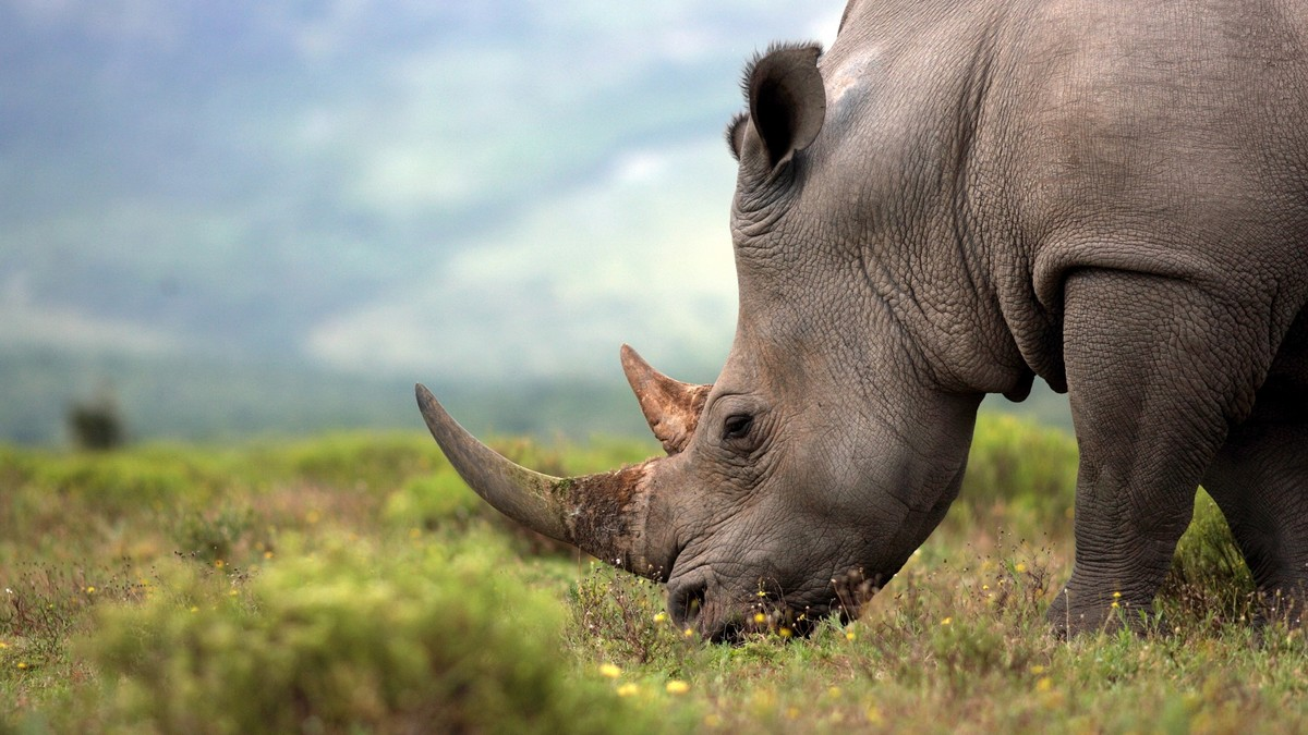 Greater One - Horned Rhinoceros