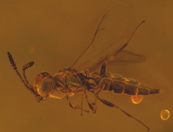 This Freaky 100-Million-Year-Old Wasp Was Named for David Bowie