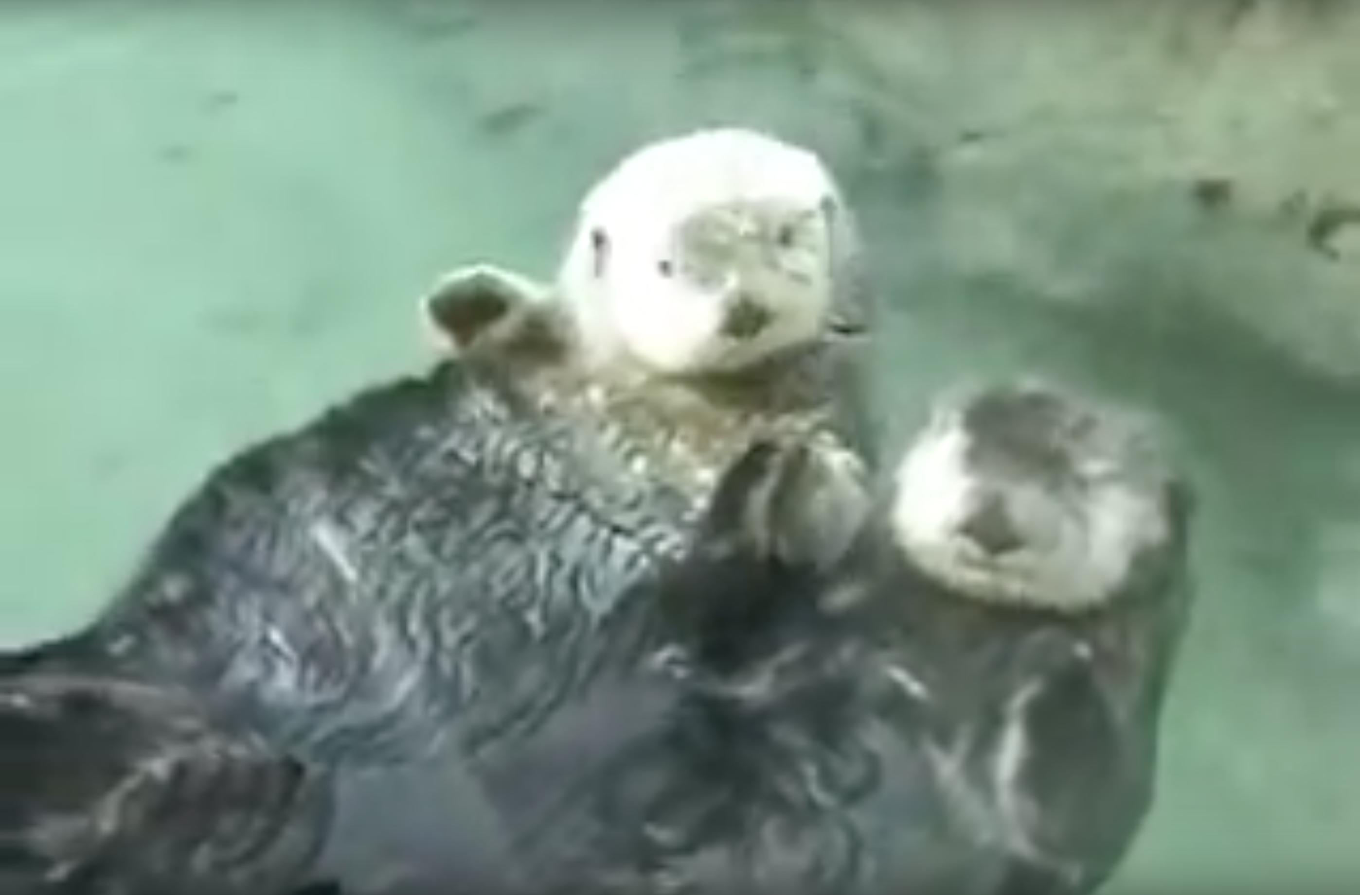 Die Herzzerreißende Geschichte Der Beiden Otter Aus Dem Holding