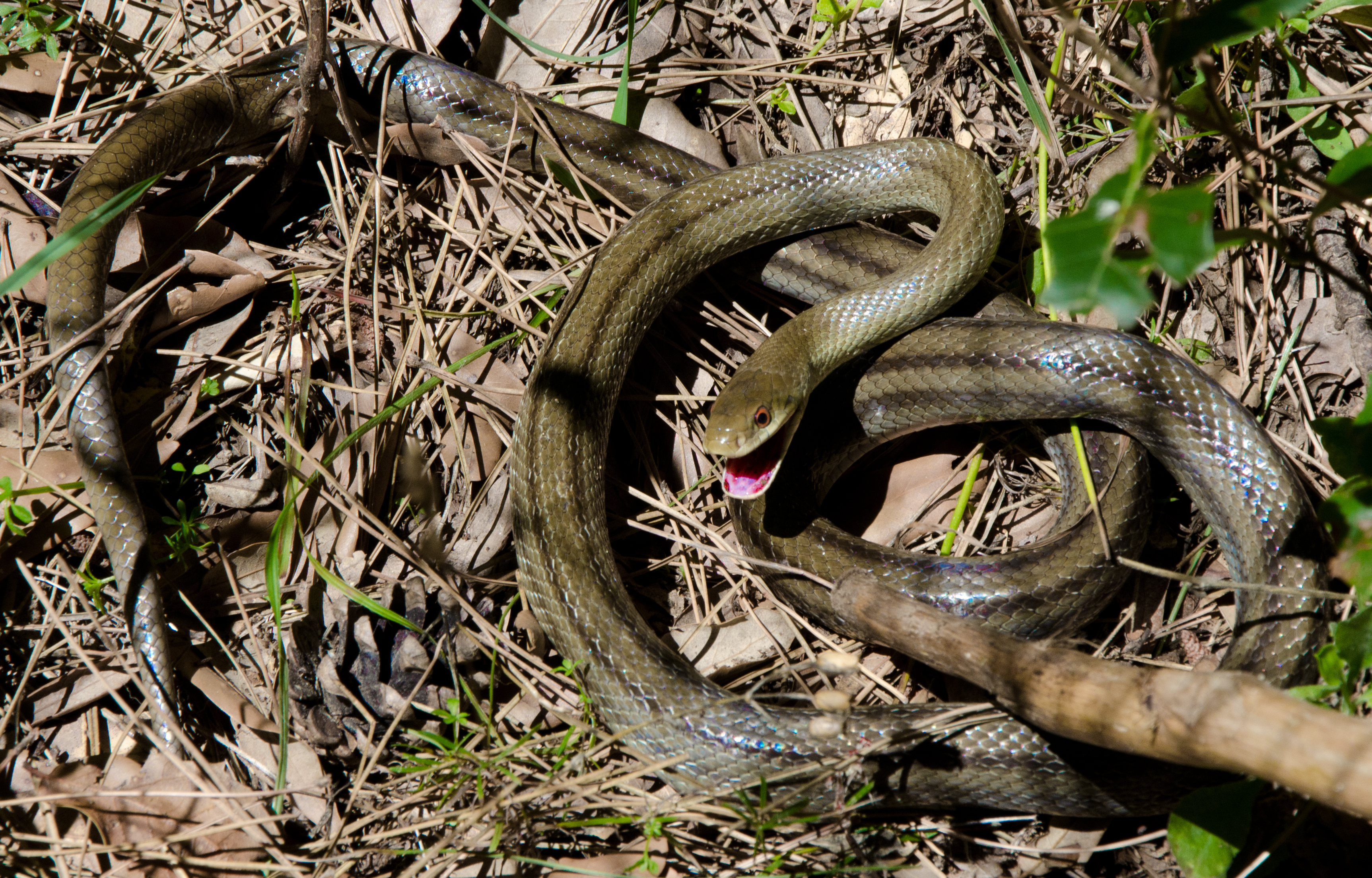 California Cops Found Dozens of Snakes and Gators in a ...