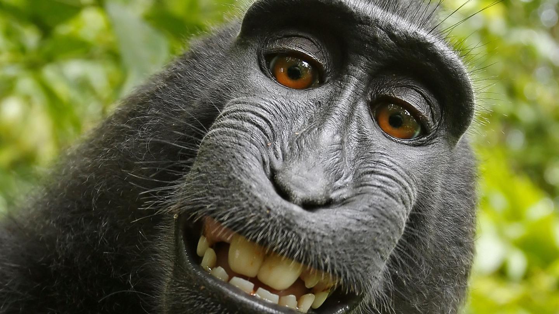 Gambar Monyet Bawa Pisang Monyet Di Indonesia Emang Jago Selfie Kali Ini Monyet Ubud Bisa