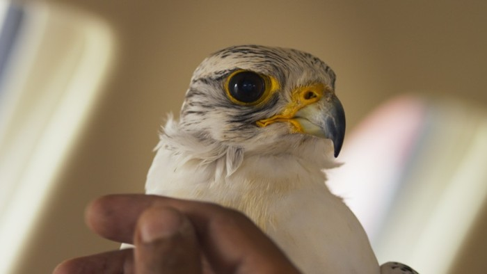 Two Words: Qatari Falconry. Two More Words: F*cking Surreal.