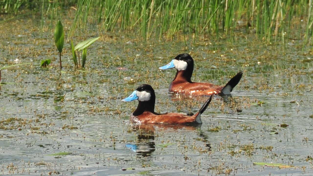 being a male duck is one big measuring contest motherboard