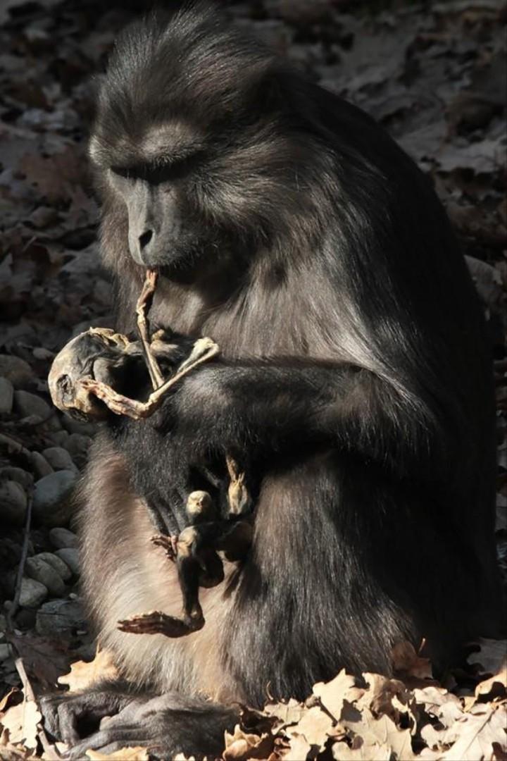 Lo strano caso del macaco che ha mangiato il cadavere del suo cucciolo