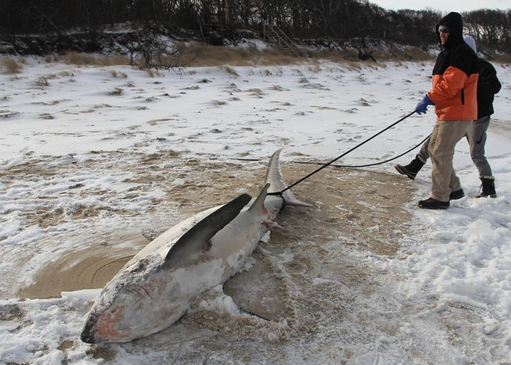 It's So Cold Outside That Sharks Are Actually Freezing to Death