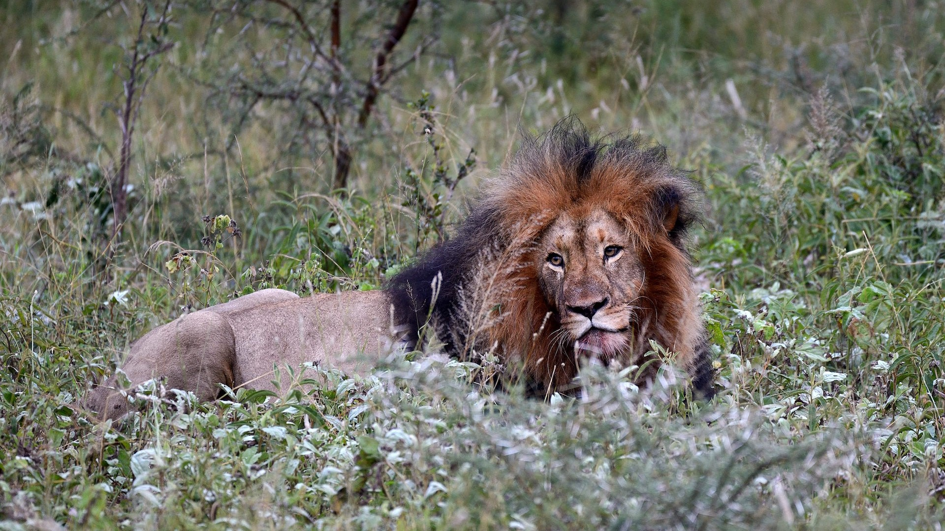 Lions ate a poacher